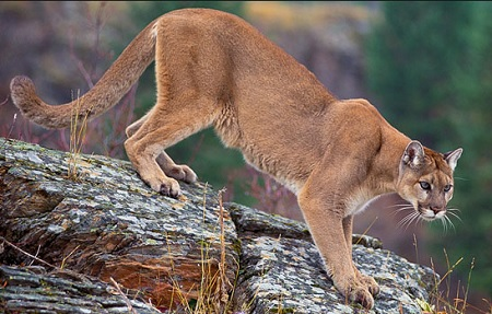 Mountain Lion Attacks 5-year-old in Colorado, Mom Saves Him.